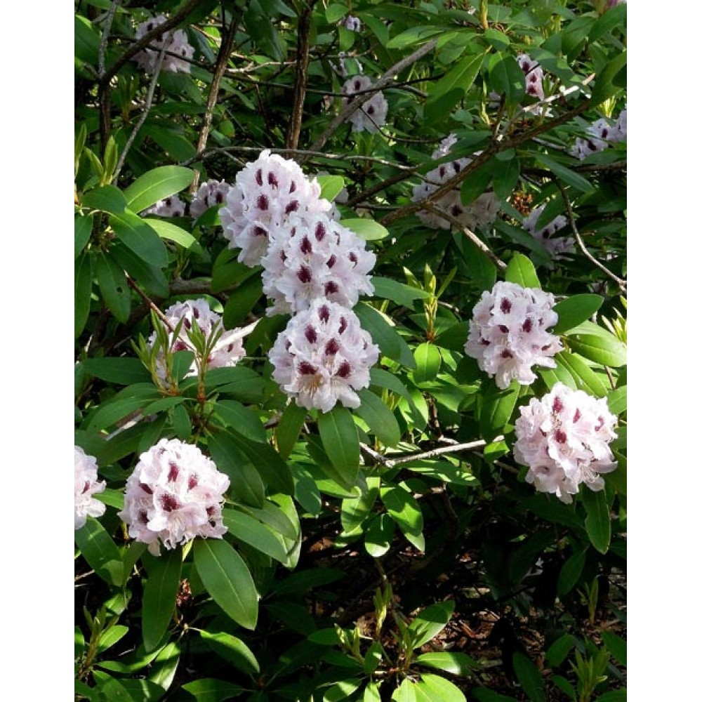 Rhododendron hybrid Kalsap, container 7,5l, 15l