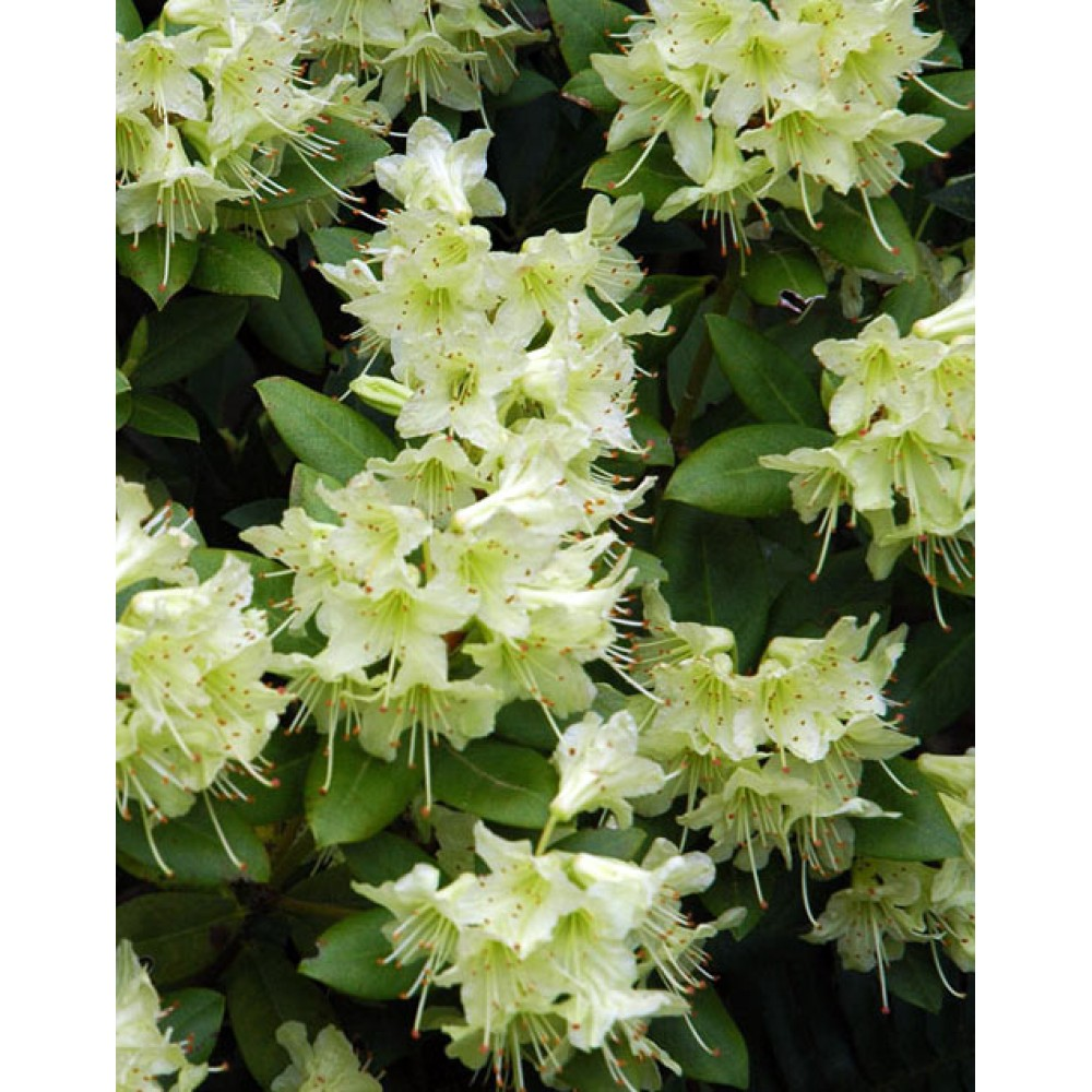 Rhododendron Princess Anna, container 3L