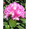 Rhododendron hybrid Roseum Elegance, container 5l