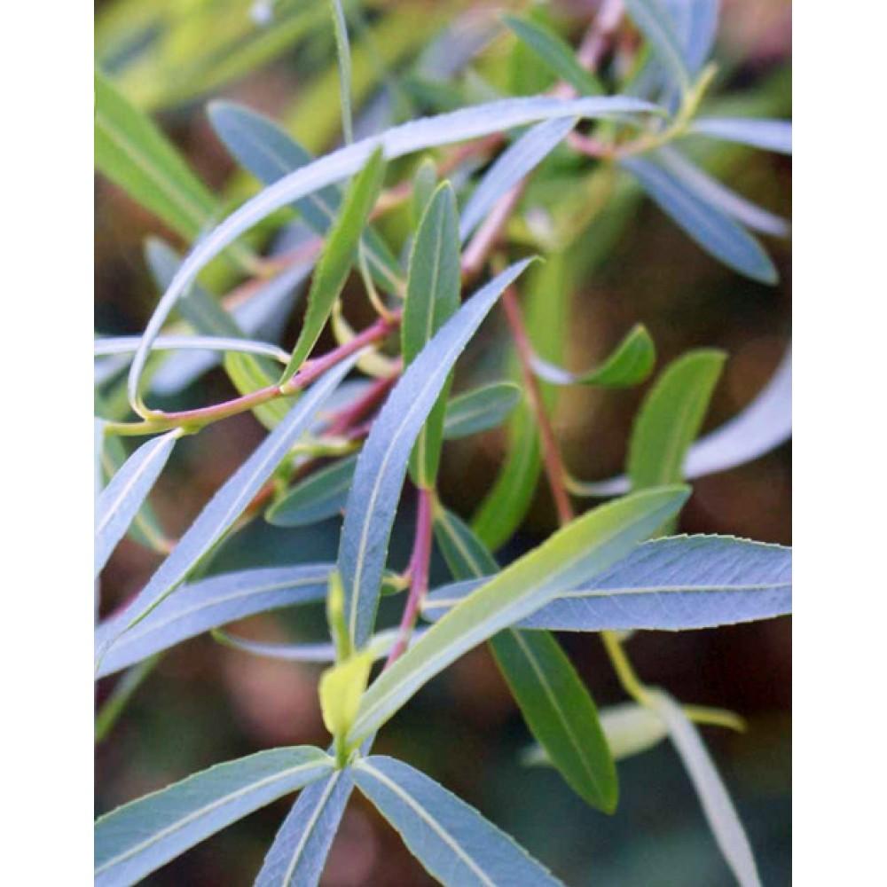 Верба пурпурова (Salix purpurea)