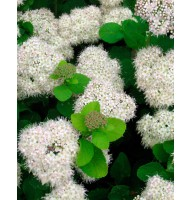 Spiraea birch leaf, container 3l