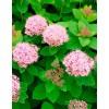 Спірея густоквіткова (Spiraea densiflora)