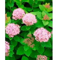 Spiraea densely flowered