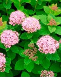 Spiraea densely flowered