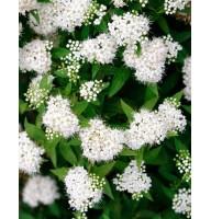 Спирея японская Альбифлора (Albiflora)