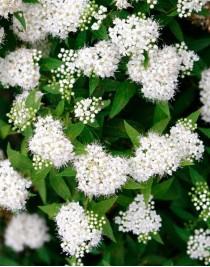 Japanese spirea Albiflora