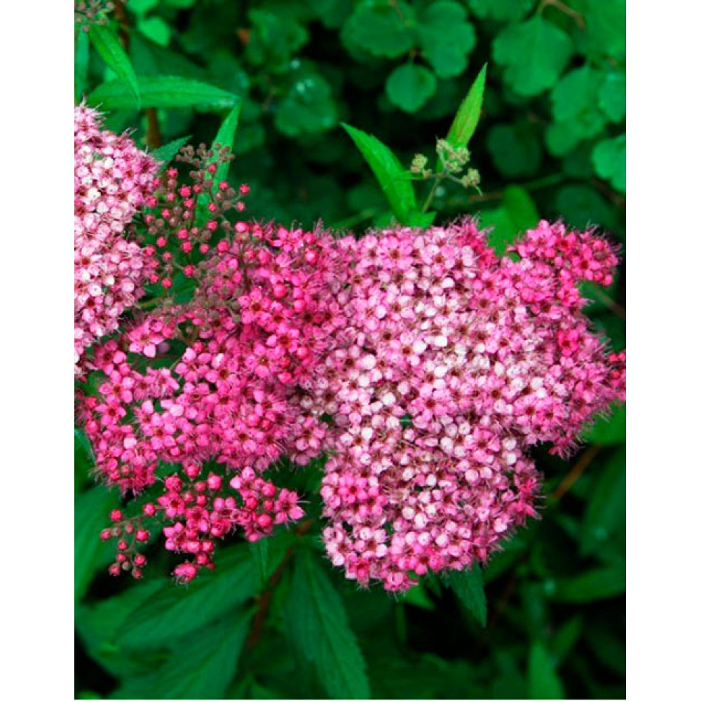 Spirea Japanese Country Red, container 3l