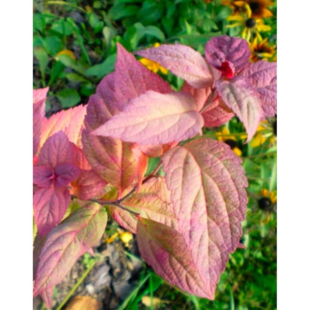 Спірея японська Макрофілла (Macrophylla)