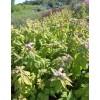 Спирея японская Макрофилла (Macrophylla)