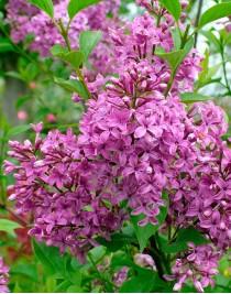 Chinese lilac Saugeana