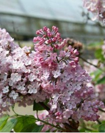 Lilac hyacinth Maidense Blush, container 3L