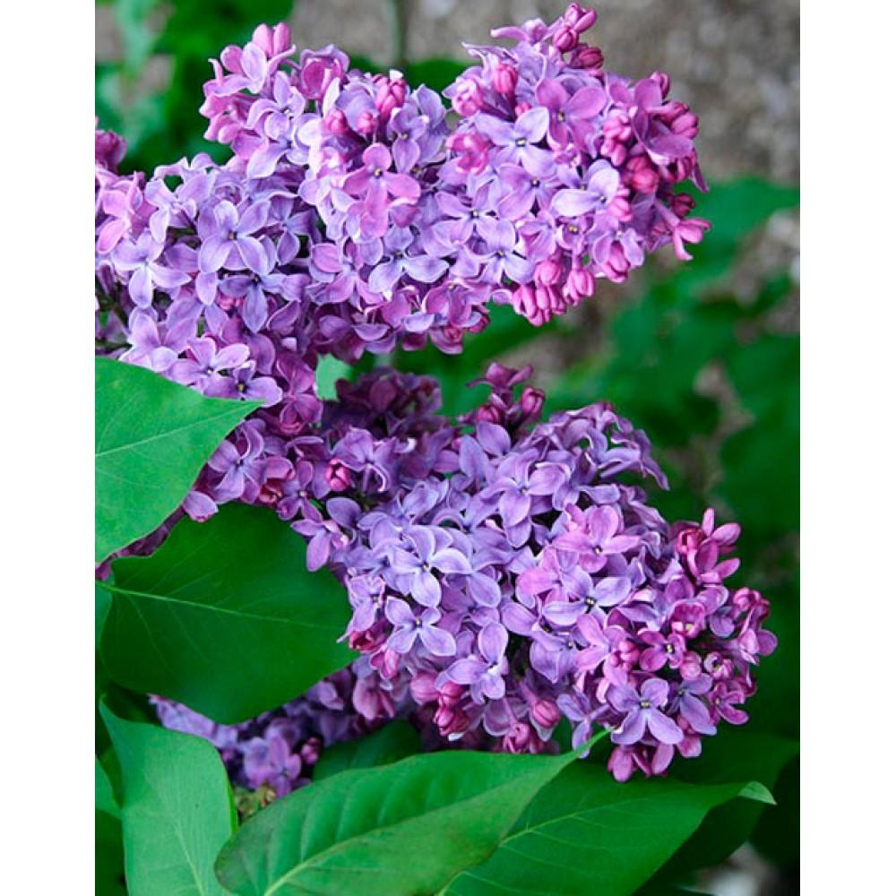 Common lilac Congo, container 3L