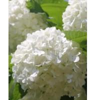 Viburnum Buldenezh, container 3l