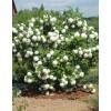 Viburnum Buldenezh (Viburnum opulus Bouledeneige)
