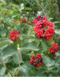 Kalina gordovina (Viburnum lantana)