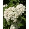 Калина гордовина (Viburnum lantana)