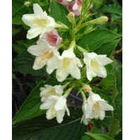 Weigela blooming Alba, container 3l