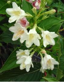 Вейгела квітуча Альба (Weigela florida Alba)