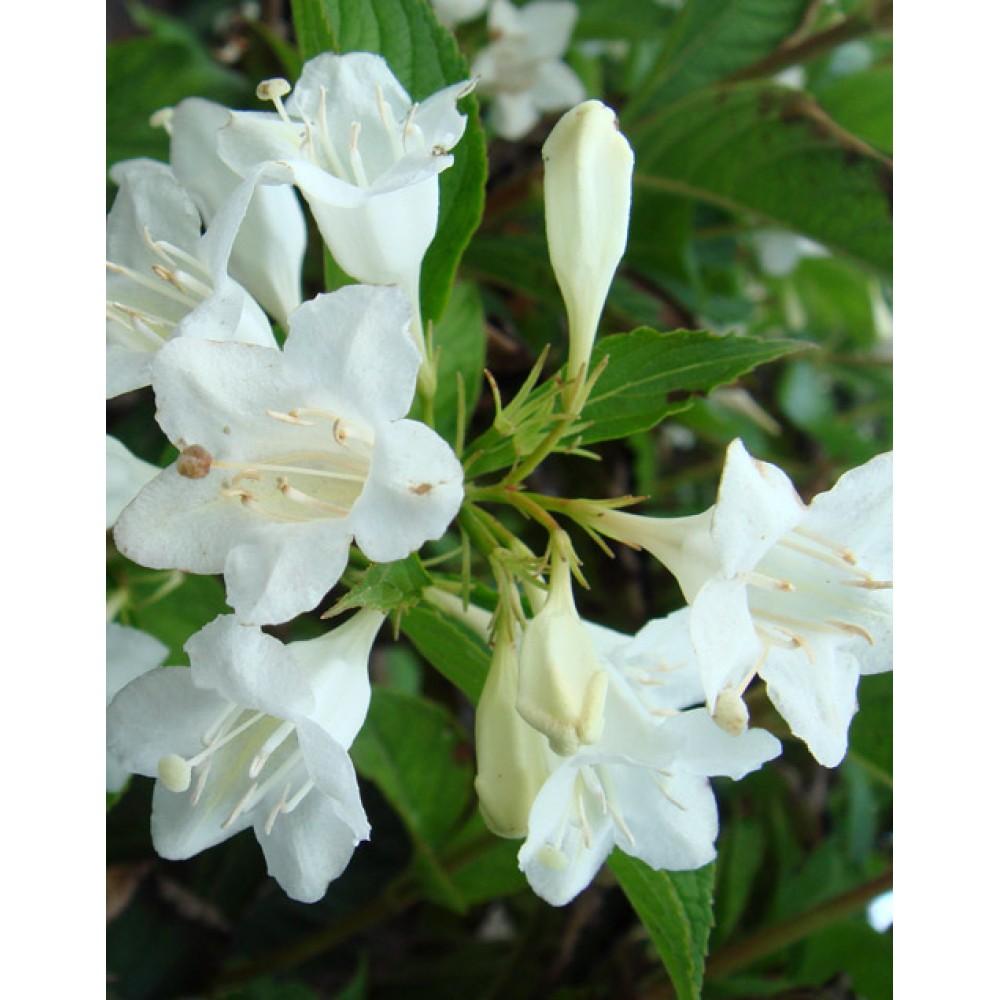 Weigela blooming Alba