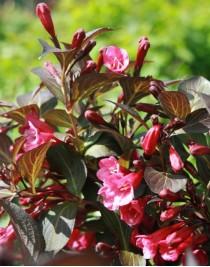 Вейгела квітуча Олександра (Weigela florida Alexandra)