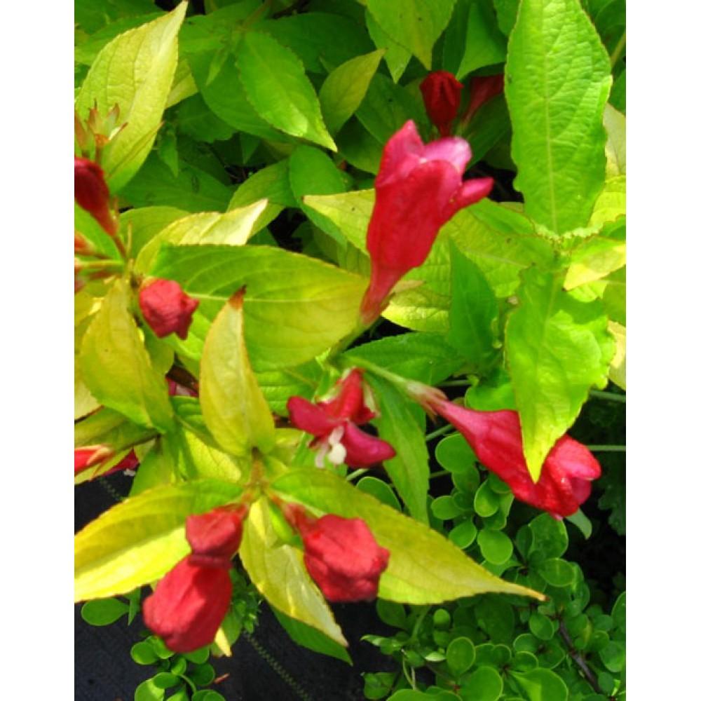 Weigela blooming Aurea, container 3l