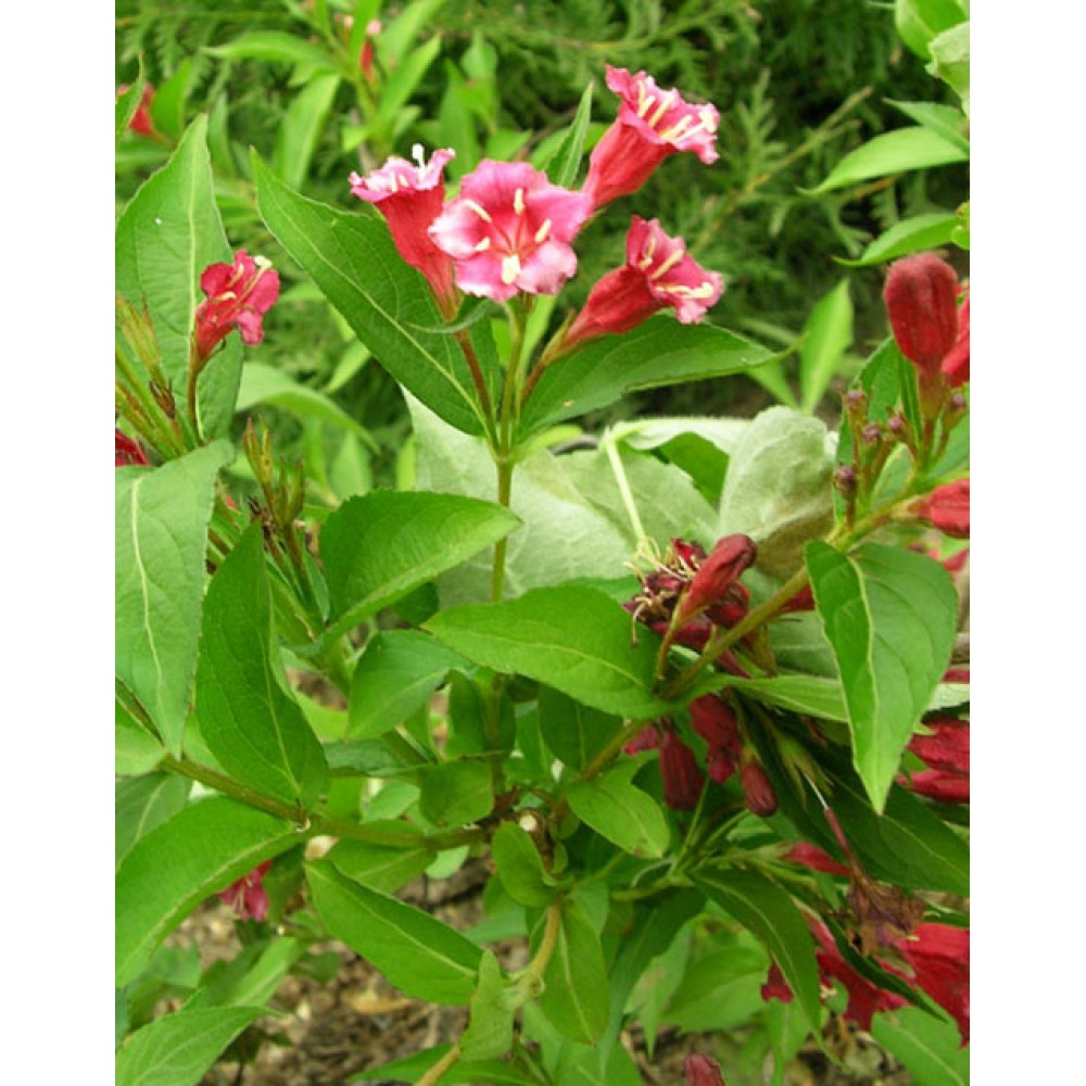 Veigela blooming Boskop Glory, container 3l