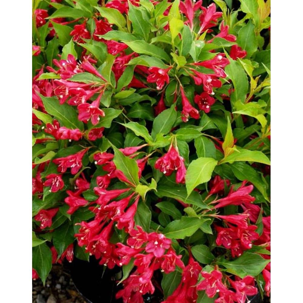 Вейгела цветущая Румба, контейнер 2,4л