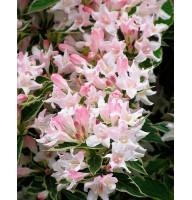 Вейгела цветущая Сплендид, контейнер 3л