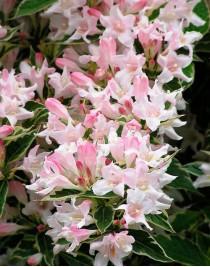 Вейгела квітуча Сплендид (Splendid)