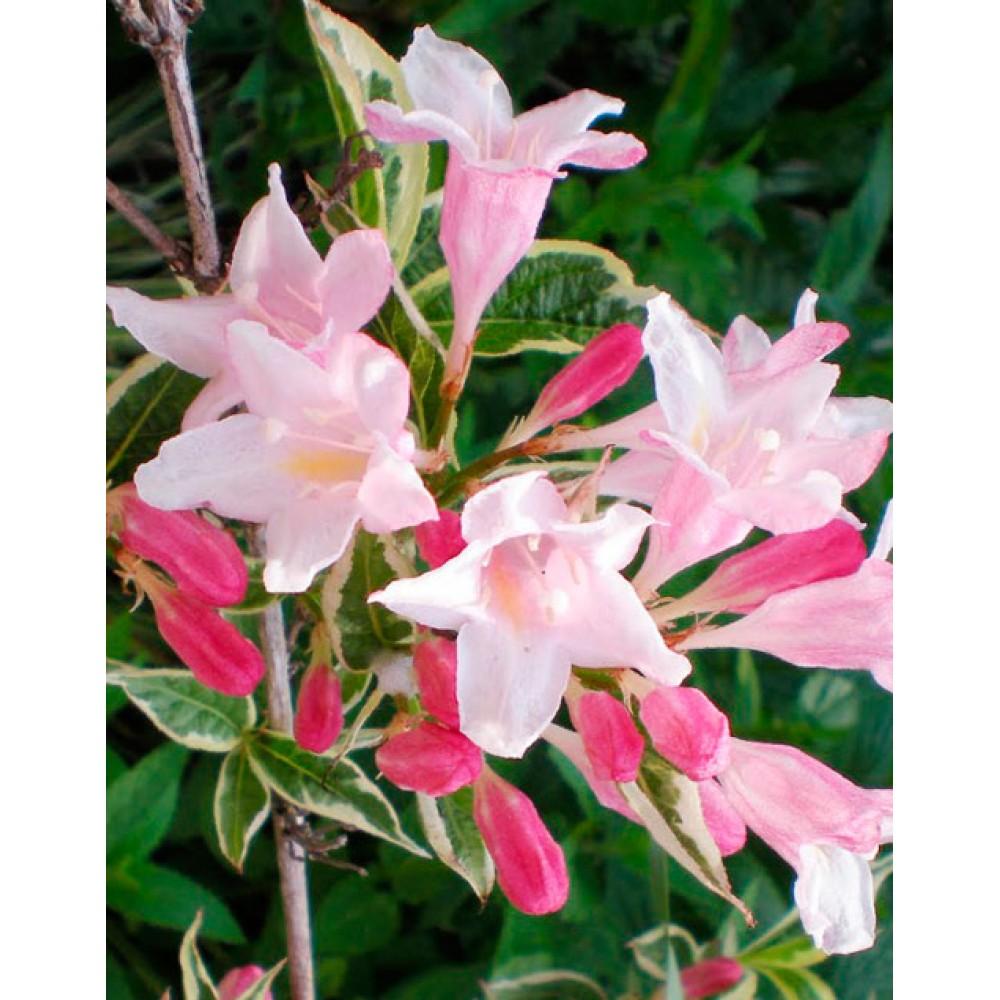 Вейгела цветущая Сплендид (Splendid)