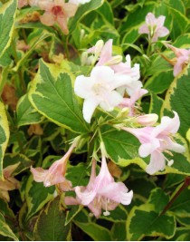 Вейгела квітуча Варієгата (Weigela florida Variegata)