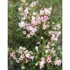 Veigela blooming Variegata