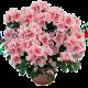 Квітучі