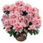 Квітучі (41)