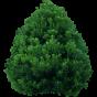 Хвойні дерева і чагарники (93)