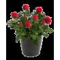 Flowering (41)