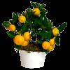 Iindoor fruit