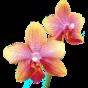 Орхідеї (24)