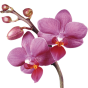 Орхідеї фаленопсис (70)